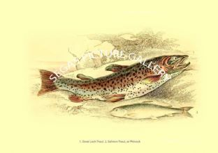 Great Loch Trout - Salmon-Trout, or Phinock